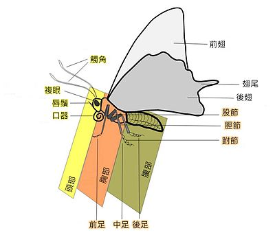 蝴蝶成虫的身体结构图